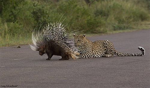Leopard and Porcupine Photo and Story by Craig Schaibman