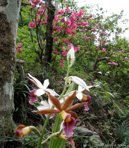 Orchids at our Guest House in Gangtok, Sikkim - India pied-a-terre blog