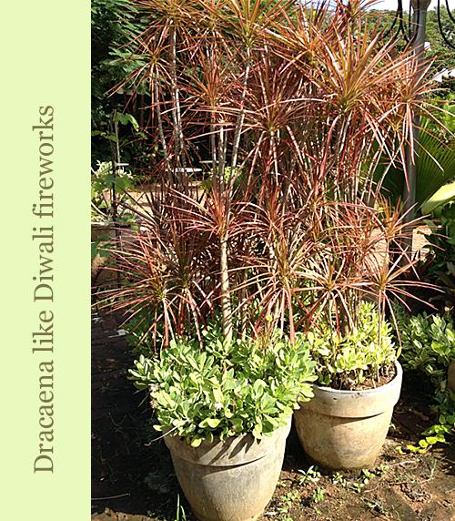 Plants-Look-Like-Diwali-Sparklers