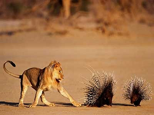 Adult Porcupine and Lion