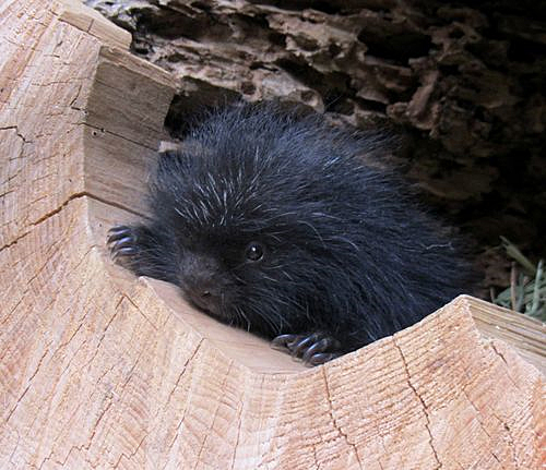 Porcupine Baby Porcupette at Cheyenne Mountain Zoo