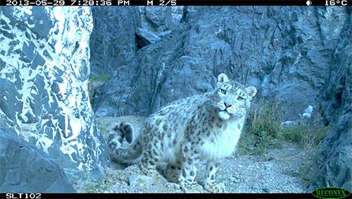 Snow Leopard Selfie from the Snow Leopard Trust